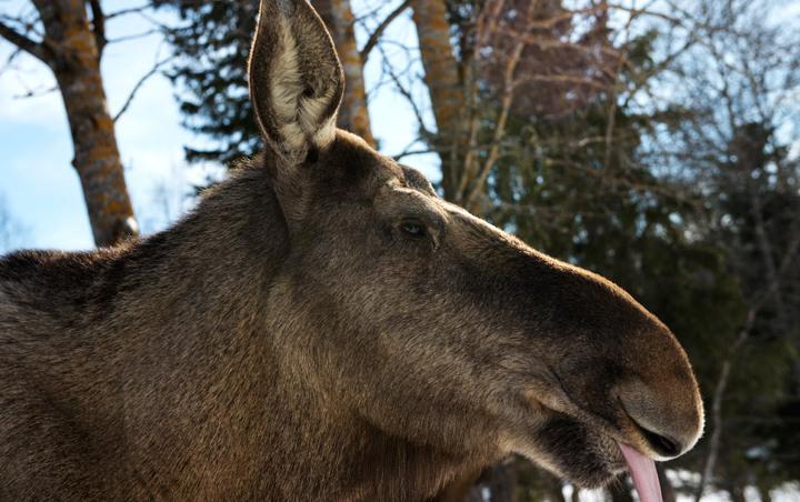 moose-cow.jpg