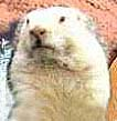 wiarton_willie1.jpg